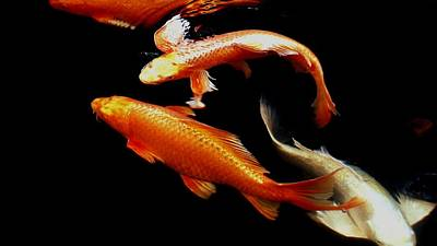 Red Cap Oranda Photograph - Fish Swimming by Don Mann