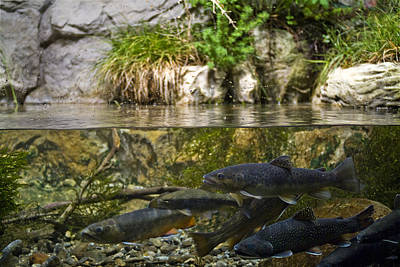 Brook Trout Image Photograph - Fish Swimming In An Aquarium by Todd Gipstein