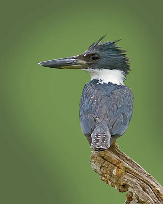 Kingfisher Photograph - Fisher King by Larry Linton