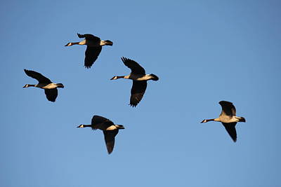 Photograph - Five Geese Fly by Donna L Munro