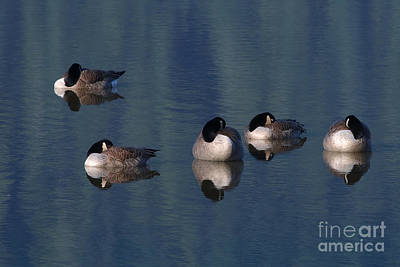Photograph - Five Geese Napping by Sharon Talson