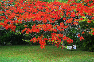 Photograph - Flamboyant Tree- St Lucia by Chester Williams