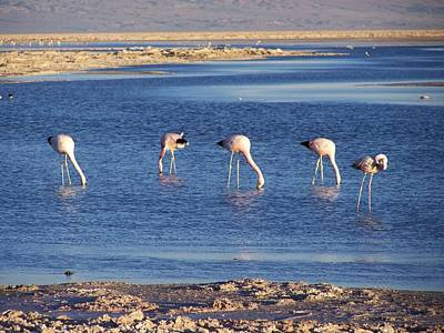 Photograph - Flamencos At The Atacama Salar by Sandra Lira
