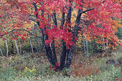 Flaming Autumn Maple Art Print