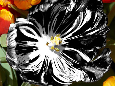Photograph - Flaming Black And White Tulip by James Granberry