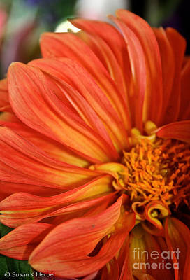 Flaming Dahlia  Art Print by Susan Herber