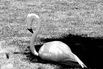 Photograph - Flamingo 002 by Elizabeth  Doran