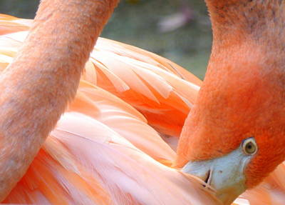 Photograph - Flamingo by Beth Akerman