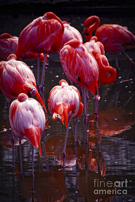 Birds Royalty-Free and Rights-Managed Images - Flamingo by Elena Elisseeva