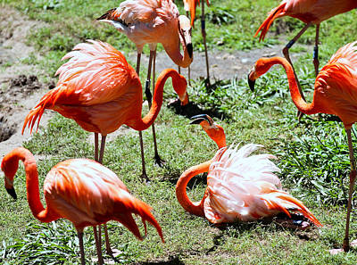 Photograph - Flamingo Face-off by Elizabeth Hart