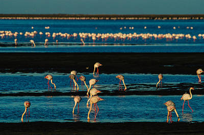 Photograph - Flamingo Gathering by Alistair Lyne