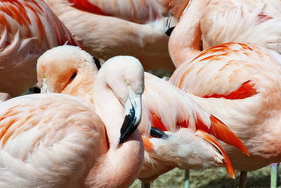 Flamingo Reunion Print by Toni Hopper