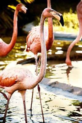 Photograph - Flamingos by Anthony Citro