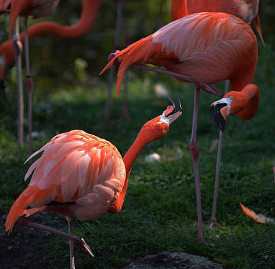 Photograph - Flamingos Fight by Dragan Kudjerski