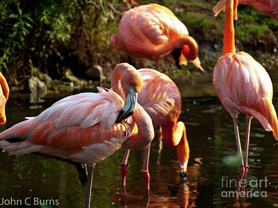 Print featuring the photograph Flamingos by John Burns