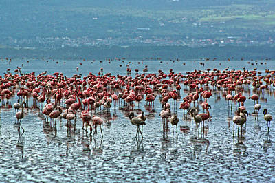 Photograph - Flamingos by Marie Morrisroe