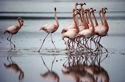Flamingos Photograph - Flamingos by Sam Abell
