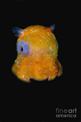 Cartoonish Photograph - Flapjack Octopus by Dante Fenolio