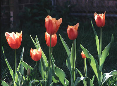 Art Print featuring the photograph Flared Red Yellow Tulips by Tom Wurl