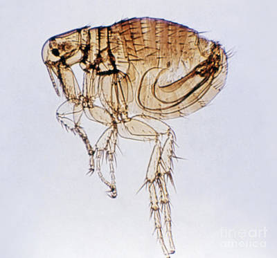 Photograph - Flea by Science Source