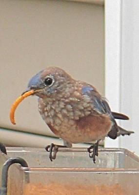 Photograph - Fledgling Bluebird by Jeanne Kay Juhos