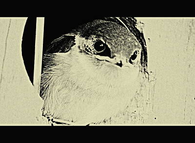 Digital Art - Fledgling Swallow  by Kathy Sampson