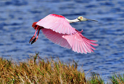 Flight A Roseate Spoonbill Art Print