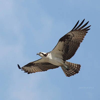 Flight Of An Osprey Original by Joseph G Holland
