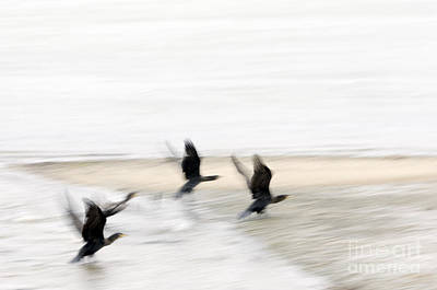 Flight Of The Cormorants Art Print by David Lade