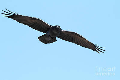 Photograph - Flight Of The Crow - 7d19709 by Wingsdomain Art and Photography