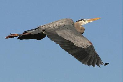 Art Print featuring the photograph Flight Of The Great Blue Heron by Myrna Bradshaw