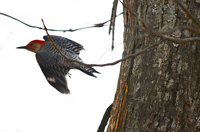 Art Print featuring the photograph Flight Of The Woodpecker by Brian Stevens