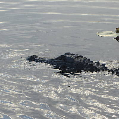 Alligator Photograph - Floating Gator by Cathy Lindsey