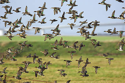 Sheppey Photograph - Flock Of Common Teal by Duncan Shaw