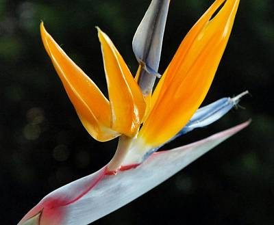 Photograph - Flora - Bird Of Paradise Costa Rica by William OBrien