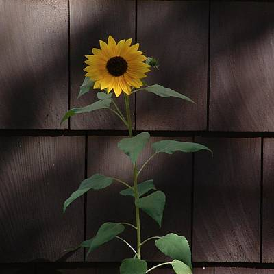 Photograph - Flora Sunflower On Shingles by William OBrien
