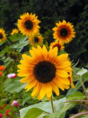 Photograph - Flora Sunflowers Turning Heads by William OBrien