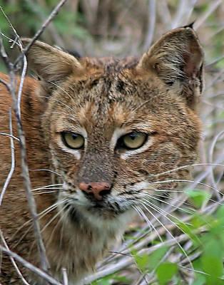 Male Bobcat Photograph - Florida Bobcat by Ira Runyan