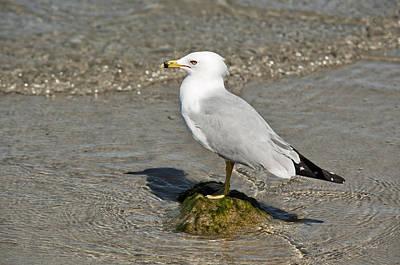 Photograph - Florida Gull Portrait by Cheryl Davis