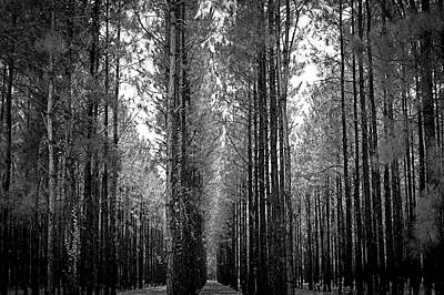 Photograph - Florida Tall Pines by Carolyn Marshall