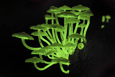 Danum Valley Conservation Area Photograph - Fluorescent Fungus by Thomas Marent