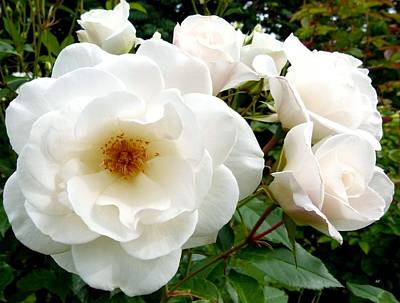 Photograph - Flourishing Iceberg Roses by Will Borden