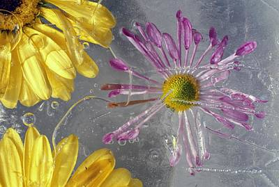 Flower Blossoms Under Ice Print by Natural Selection Craig Tuttle