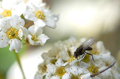 Flower Fly Art Print by Michael Wilcox