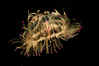 Photograph - Flower Hat Jelly Olindias Formosa by Hiroya Minakuchi