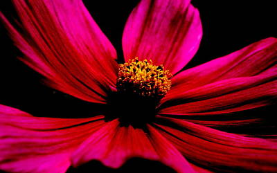 Australian Flowers Photograph - Flower In Red by Tam Graff
