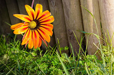 Candid Photograph - Flower On Fence by Carlos Caetano