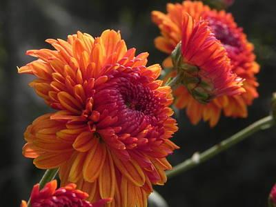 Photograph - Flower Pompom by Arindam Raha