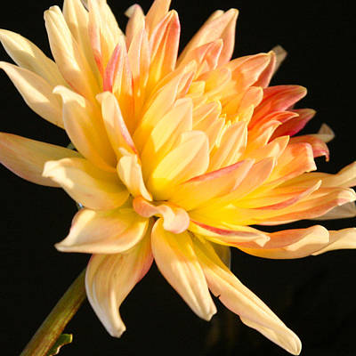 Photograph - Flower Reflected On Black by Donna Corless