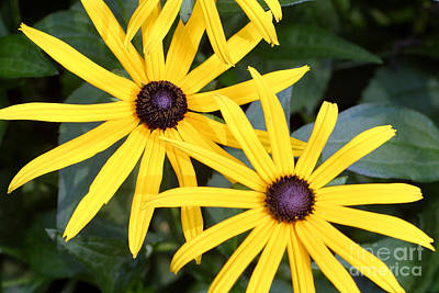 Flower Rudbeckia Fulgida In Full Art Print